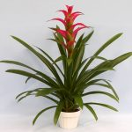 Weekly Flower Rotation, Bromeliad (1)