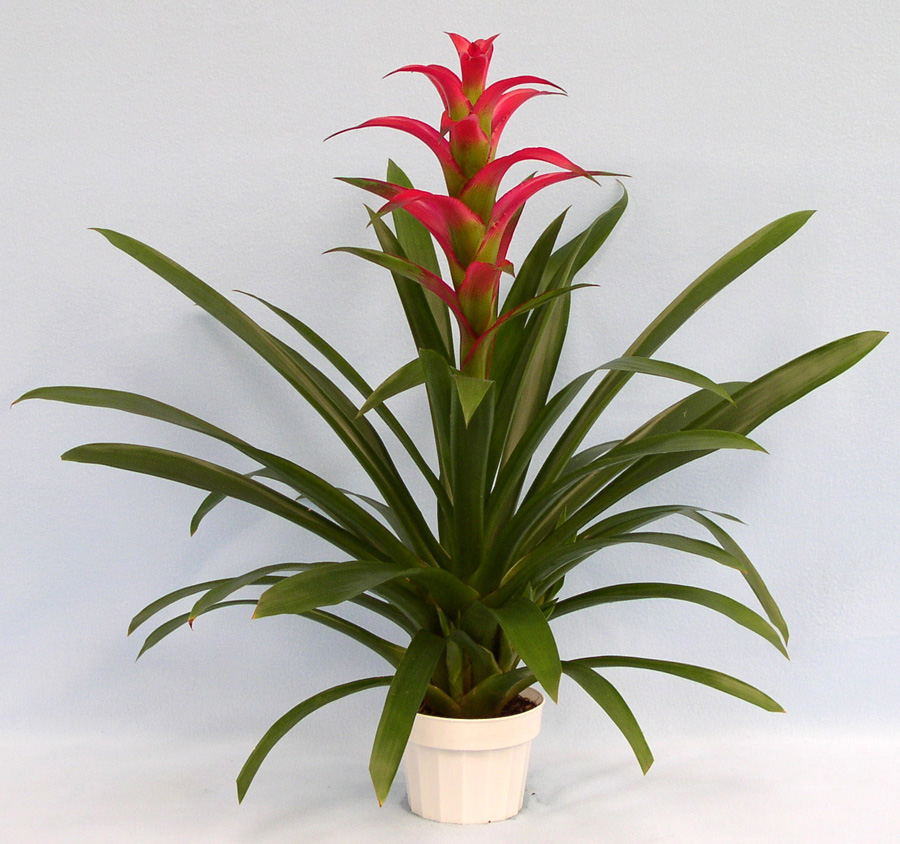 Weekly Flower Rotation, Bromeliad (1)