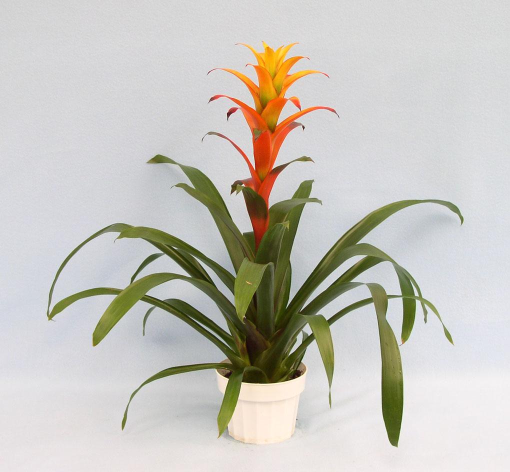Weekly Flower Rotation, Bromeliad (3)