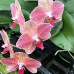 blooming plant rotation, orchid (2)
