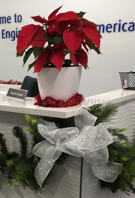 blooming plant rotation, poinsettia